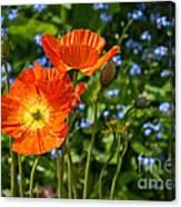 Orange And Blue - Beautiful Spring Orange Poppy Flowers In Bloom. Canvas Print