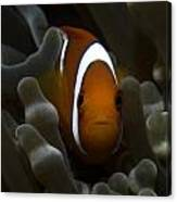 Orange Anemone Fish In Pale Anemone Canvas Print