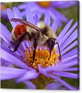 Orange-banded Bee Canvas Print