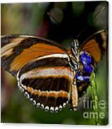 Orange Banded Butterfly Canvas Print