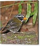 Orange-billed Sparrow Canvas Print