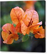 Orange Bougainvillea Canvas Print