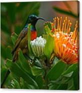 Orange-breasted Sunbird II Canvas Print