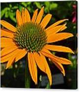 Orange Cone Flower Canvas Print