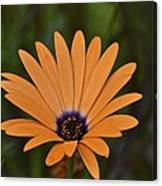 Orange Cream Canvas Print