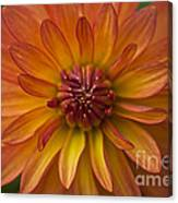 Orange Dahlia Blossom Canvas Print