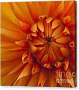 Orange Dahlia Close Up Canvas Print