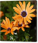 Orange Daisy Canvas Print