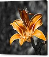 Orange Daylily Flower On Gray 3 Canvas Print