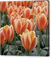 Orange Dutch Tulips Canvas Print