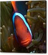 Orange Face Anemonefish Canvas Print