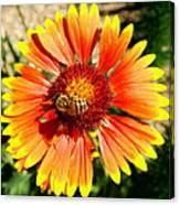 Orange Fiery Gaillardia Flower And Bee Macro Canvas Print