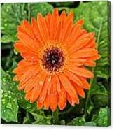 Orange Gerber Daisy 2 Canvas Print