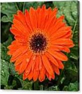 Orange Gerber Daisy 3 Canvas Print