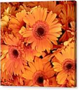Orange Gerbera Daisies Canvas Print