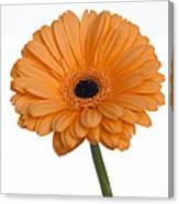 Orange Gerbera Daisy Canvas Print