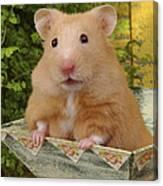 Orange Hamster Ha106 Canvas Print