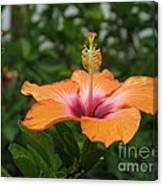 Orange Hibiscus Blossom Canvas Print