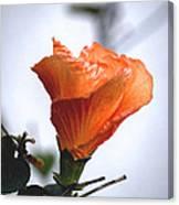 Orange Hibiscus Lax 2 Canvas Print