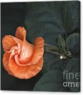 Orange Hibuscus Lax 1 Canvas Print