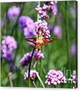 Orange Hummingbird Moth Canvas Print