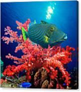 Orange-lined Triggerfish Balistapus Canvas Print