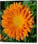 Orange Marigold Close Up With Garden Background Canvas Print
