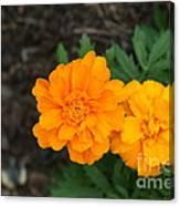 Orange Marigolds   # Canvas Print