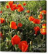 Orange Poppies In Sunlight Canvas Print