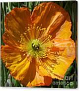 Orange Poppy Canvas Print