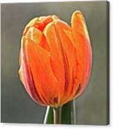 Orange Red Tulip Square Canvas Print