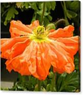 Orange Skirted Poppy  Canvas Print