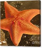 Orange Starfish In California Ocean Canvas Print