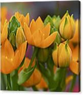 Orange Stars - Floral - Ornithogalum Dubium - Sun Stars Canvas Print