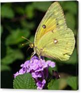 Orange Sulphur Canvas Print