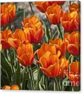 Orange Tulips  Canvas Print