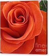 Orange Twist Rose 2 Canvas Print