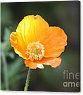 Orange Welsh Poppy Canvas Print