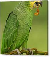 Orange-winged Parrot Amazonian Ecuador Canvas Print
