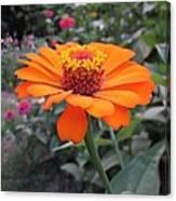 Orange Zinnia Canvas Print