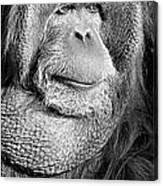 Orangutan 2 Canvas Print