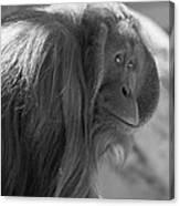 Orangutan Black And White Canvas Print