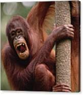 Orangutan Hanging On Tree Canvas Print