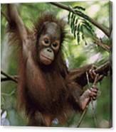 Orangutan Infant Hanging Borneo Canvas Print