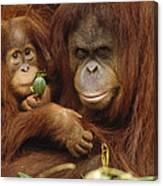 Orangutan Mother And Baby Canvas Print