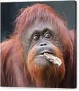 Orangutan Portrait Canvas Print
