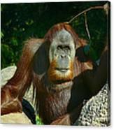 Orangutan Scratches With Stick Canvas Print