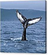 Orca Bitemarks On Humpback Tail Canvas Print