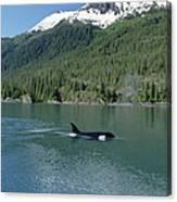 Orca Female Inside Passage Alaska Canvas Print