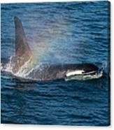 Orca Whale Surfacing Canvas Print